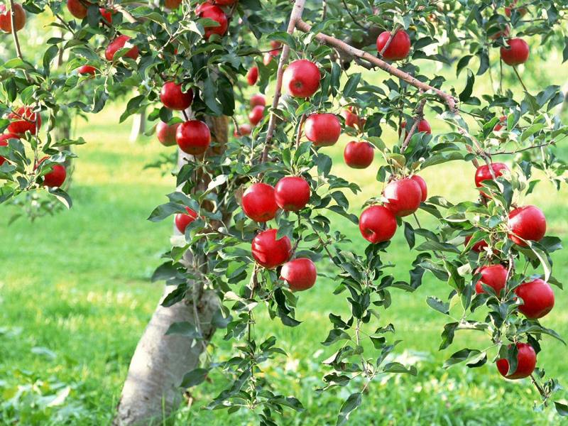 Fruiting Trees Plants Fruit Trees And Shrubs